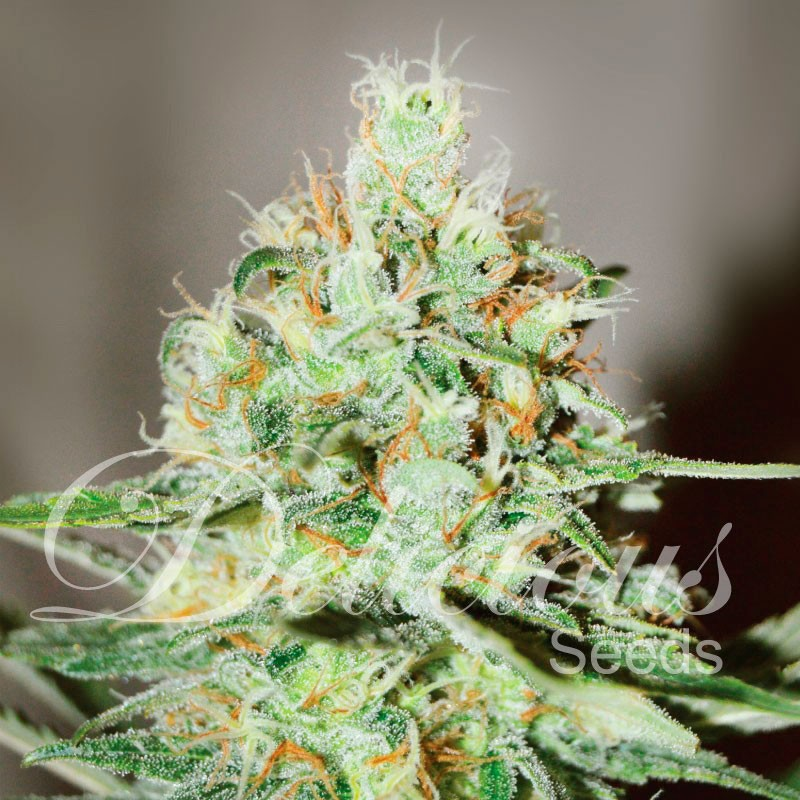 Jägg Kush - Feminized - Seeds