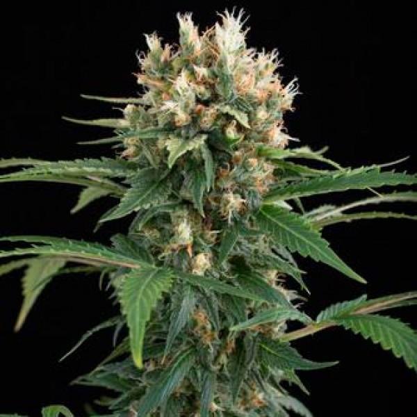 Thai skunk semillas y cultivo de marihuana for Www houseplant net