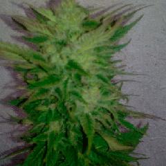 Sugar Black Rose