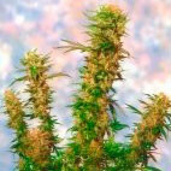 Mangolian Indica  -  5 seeds - Sagarmatha
