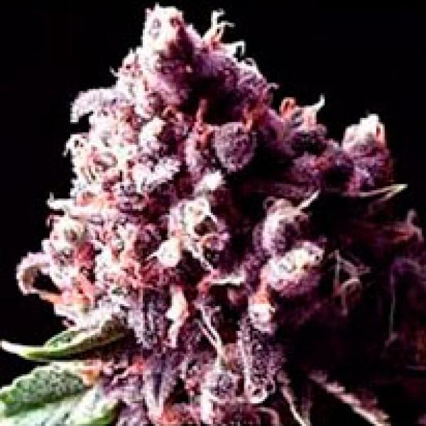 Purple Pinecone - 5 seeds - Sagarmatha