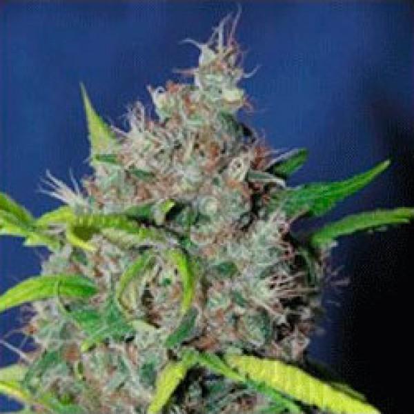 Smurfberry - 5 seeds - Sagarmatha