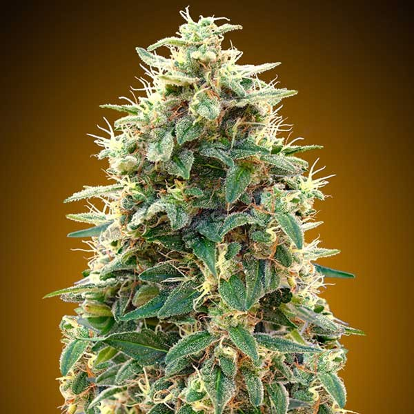 Auto 00 Cheese - 5 seeds - 00 Seeds