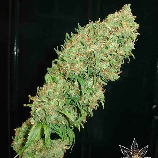 Caramella - 5 seeds - Fantaseeds