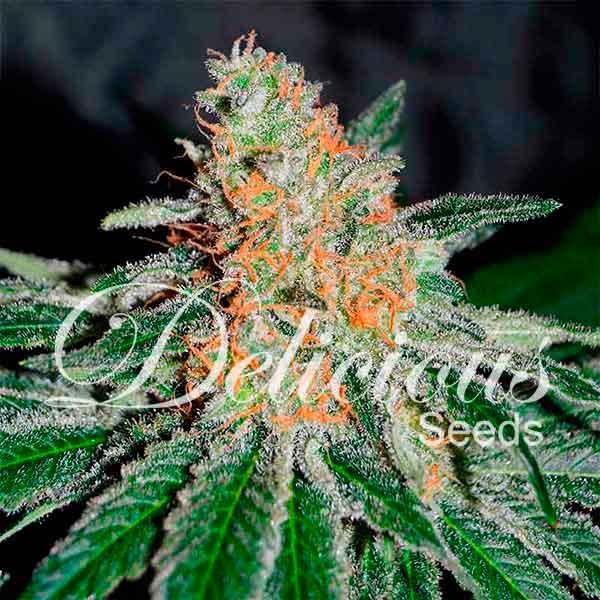 CBD JAM - CBD FAMILY - семена