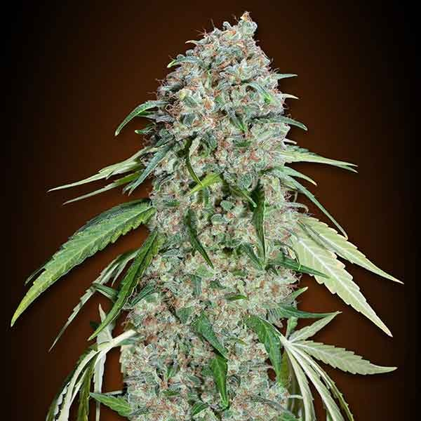 Chocolate Skunk CBD - 5 seeds - 00 Seeds