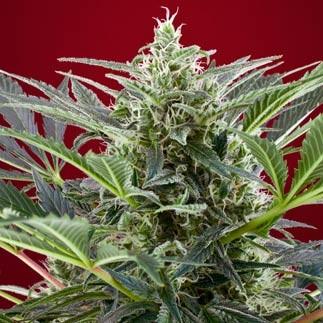 Cream 47 - Sweet Seeds