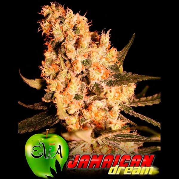 JAMAICAN DREAM - Eva Seeds