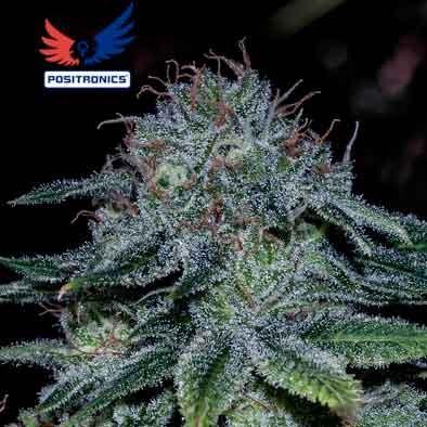 Mystic Cookie - 5 seeds - Positronics