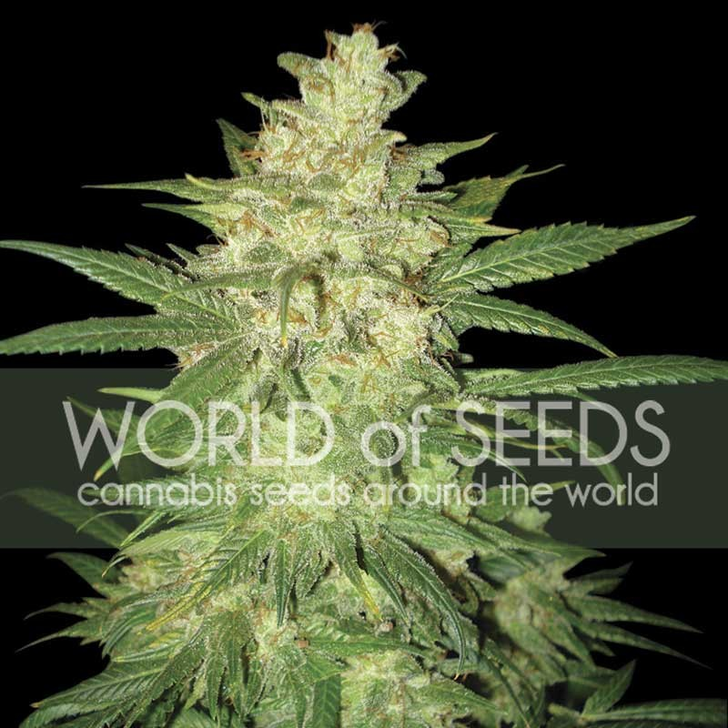 COLOMBIAN GOLD RYDER  - World of Seeds