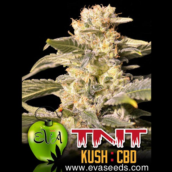 TNT KUSH CBD - Eva Seeds