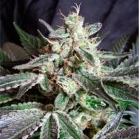 покупка  Black Buddha  - 5 seeds