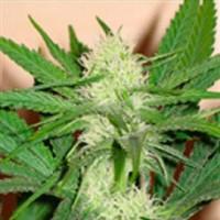 покупка  Cheez Wreck - 5 seeds