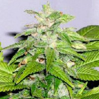 покупка  Early Bird Skunk  - 5 seeds