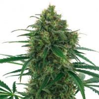 покупка  Thunderbolt - 5 seeds