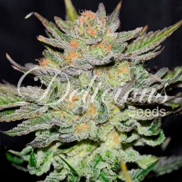 Auto Blue Ace Cbd - 3 seeds