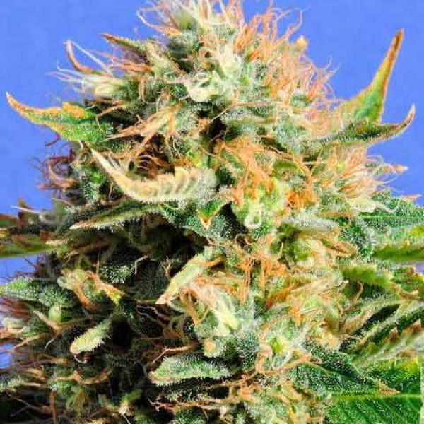 cannabis schimmel