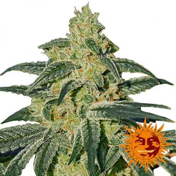 AFGHAN HASH PLANT REGULAR - 10 seeds - Barney's Farm