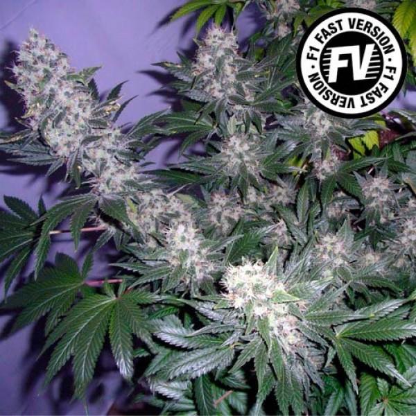 BLACK JACK FAST VERSION - Sweet Seeds