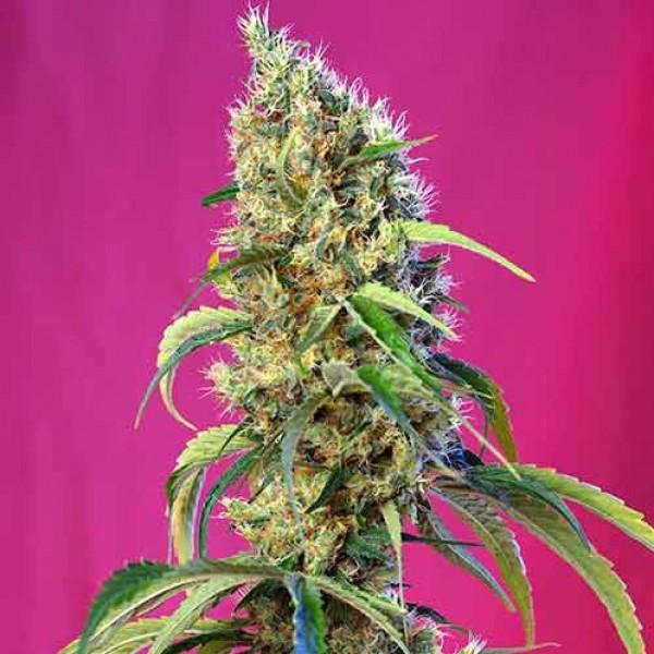 Black Jack CBD - Sweet Seeds