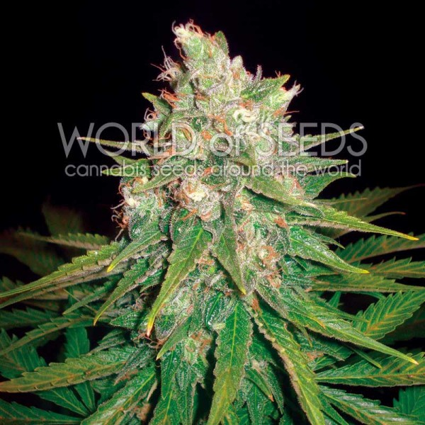 Mazar x Great White Shark - World of Seeds