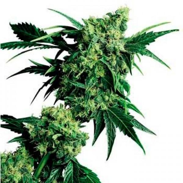 MR. NICE G13 X HASH PLANT REGULAR - Sensi Seeds