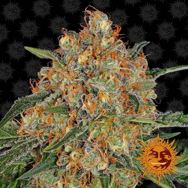 ORANGE SHERBERT - Barney's Farm
