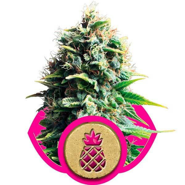 Pineapple Kush - Royal Queen
