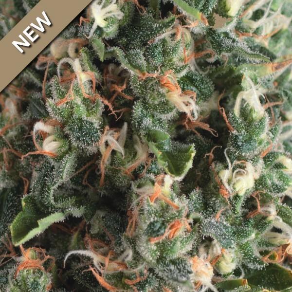 AUTO SUPER OG KUSH - Pyramid Seeds