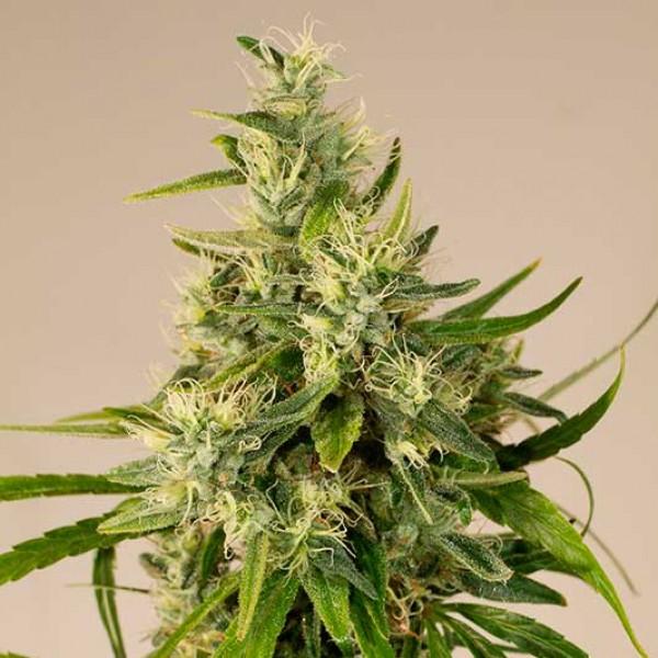TRAINWRECK - Humboldt Seeds