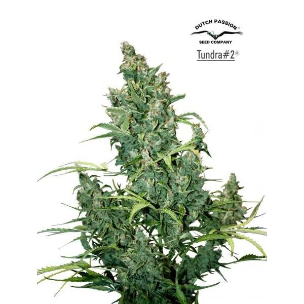 TUNDRA  #2 - 3 seeds -  -