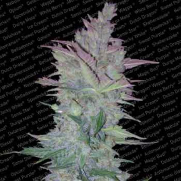VERTIGO AUTO - Paradise Seeds