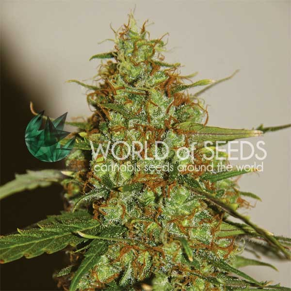 WILD THAILAND RYDER - World of Seeds