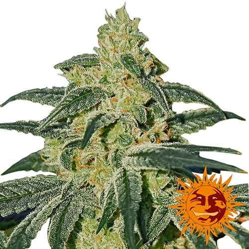 AFGHAN HASH PLANT REGULAR - 10 seeds - Barney's Farm