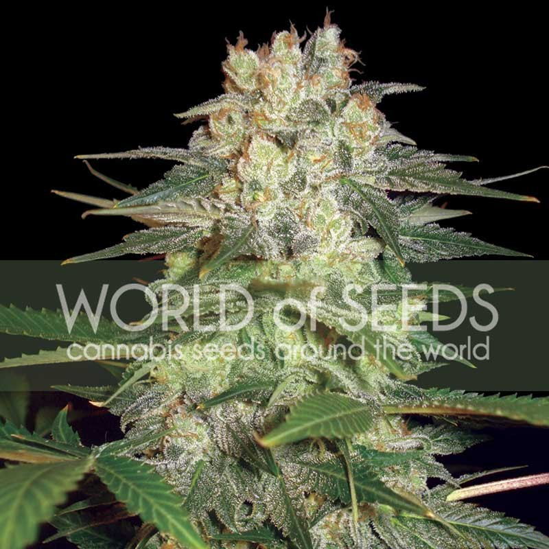 AFGHAN KUSH RYDER  - World of Seeds