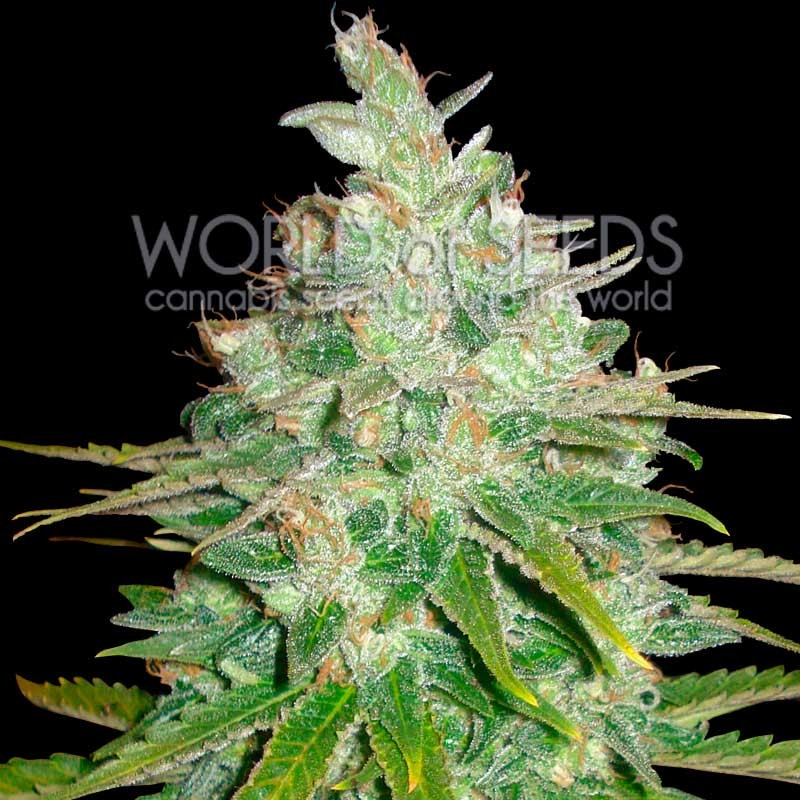 Afghan Kush x Black Domina - World of Seeds