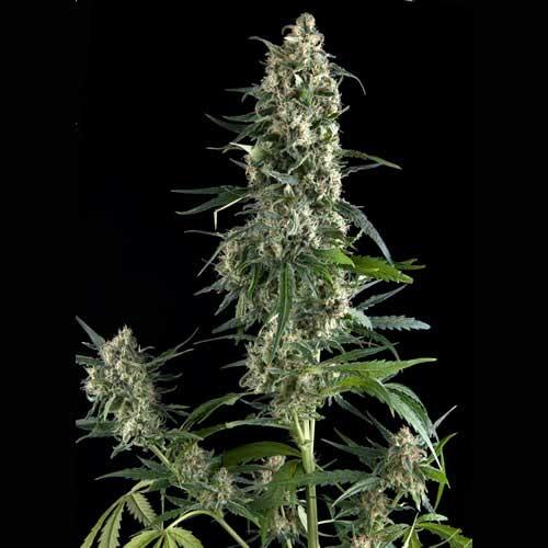 AUTO AMNESIA GOLD - Pyramid Seeds
