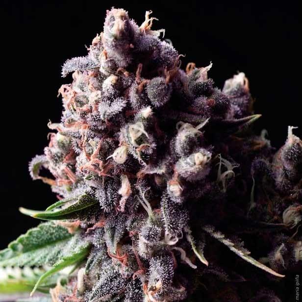 AUTO PURPLE - Pyramid Seeds