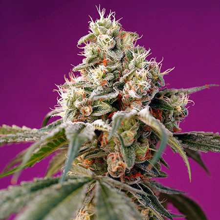 Bruce Banner Auto - Sweet Seeds