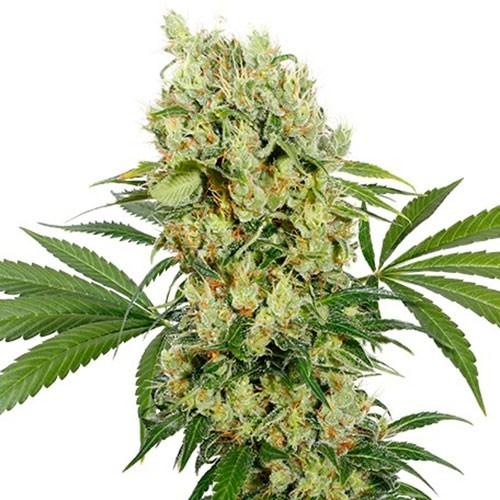 Medikit - Buddha Seeds
