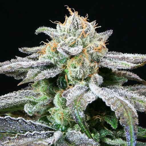 Grape Inferno - 5 seeds  - TGA Subcool