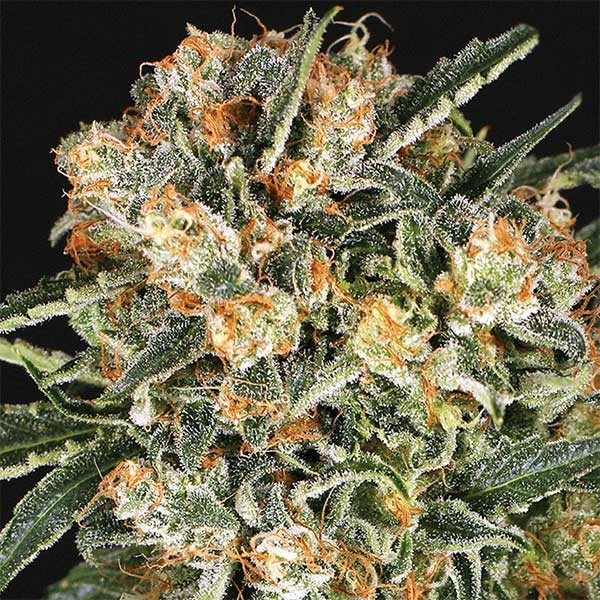 HIPPIE THERAPY CBD - Exotic Seed