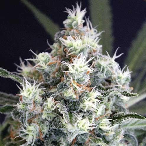 MEDXOTIC PURE CBD - Exotic Seed