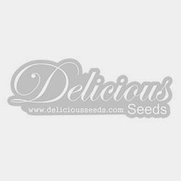 Sweet Dreams - 5 seeds - KC Brains