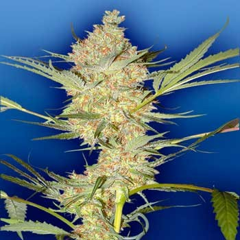 THE REAL McCOY - 10 seeds - Flying Dutchmen
