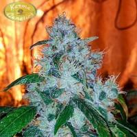 Kauf  Amnesia OG Regular - 12 seeds