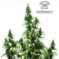 Kauf AUTO BLUEBERRY