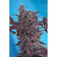 Kauf Black Cream Auto