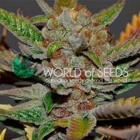 Kauf Bubba Haze Regular - 10 seeds