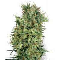 Kauf CALI ORANGE BUD REGULAR